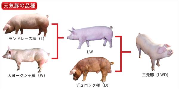 豚の画像 p1_7